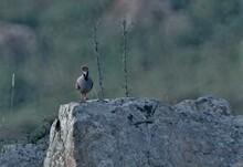 Chukar Partridge Bird Sitting On Rock In The Wild
