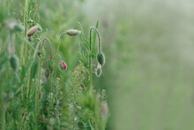 Flower Background. Unopened Buds Of Poppy Flowers On A Blurred Green Grass Background