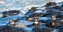 Close Up Of Ruddy Turnstone In...