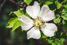 The Most Beautiful Wild Rose C...