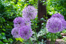 Lilac Caps Of Decorative Onions On A Background Of Green Leaves