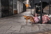 Fox Roaming The Streets Of London In Search For Food Left By People In Garbage Bags