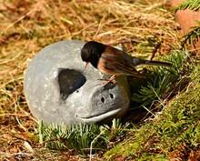 Junco Bird Standing On Garden ...