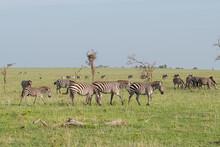 Herd Of  Zebras Grazing On The...