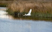 Great Snowy Egret In Flight Wi...