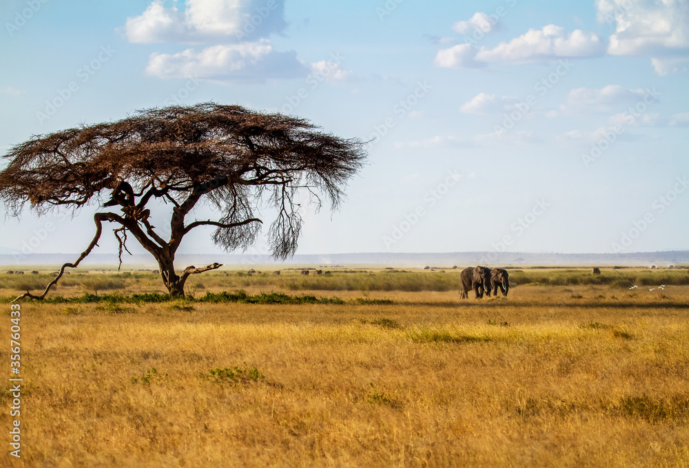 African landscape with big acacia tree and two elephants walking across dusty savannah with herd following behind. Amboseli National Park, Kenya, Africa.