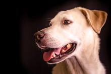 Portrait Of A Yellow Labrador ...