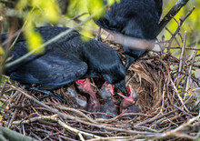 Feeding Newly Hatched Crows In. The Nest