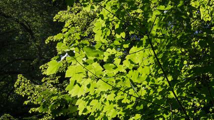 Młode zielone liście rozświetlone przez słońce