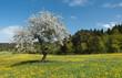 Einzelner blühender Baum in einer idyllischen Blumenwiese vor einem Wald im Frühling