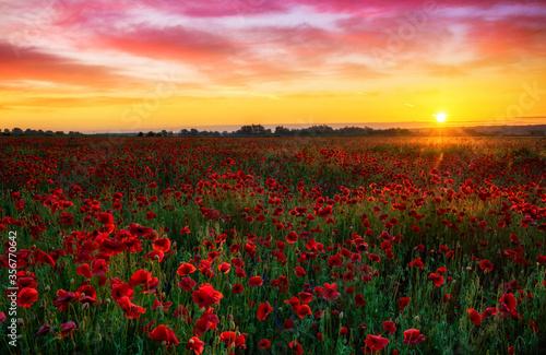 Fototapeta Beautiful poppy field during sunrise obraz na płótnie