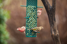 Two Male House Finches And One...