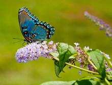 A Close-up Of A Red-spotted Purple Butterfly With Flowers