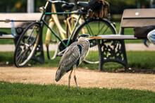 Grey Heron Bird, Vondelpark Ci...