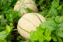 A View Of Two Tuscan Cantaloup...