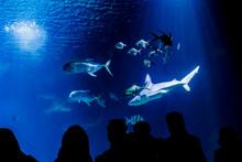 Sharks Swimming In An Aquarium...