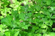 Curly Peppermint Plantation O...