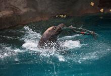 Closeup Of Clever Sea Lion Sea...