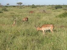 Impala Comendo