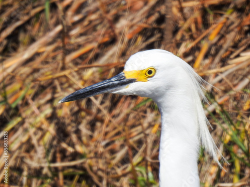 A snowy egret in the Florida wetlands
