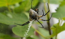 Black And Yellow Garden Spider Argiope Aurantia, Eating Prey In Fig Tree