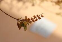 Seed Of Tulsi