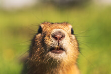 Ground Squirrel Close-up. Goph...