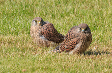 To Young Kestrels Sitting In T...