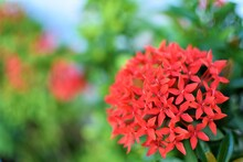 Beautiful And Vivid Red Santan Flowers Are In Full Bloom In A Garden