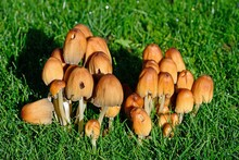 A Cluster Of Common Inkcap Mushrooms Growing In A Lawn, UK.