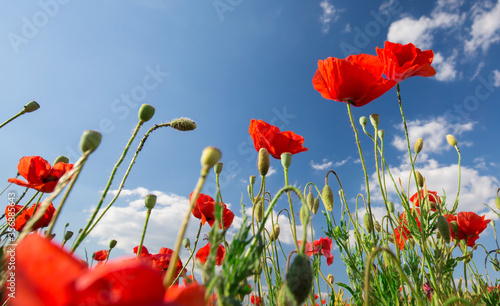 Beautiful and colorful poppy field  - 356885643