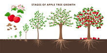 Apple Tree Growing Stages - Ve...