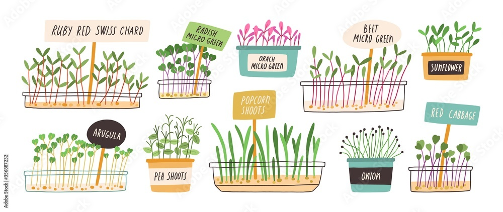 Fototapeta Set of different hand drawn sprouted grains and micro greens vector flat illustration. Collection of edible plants for healthy nutrition isolated on white. Ingredients with green leaves for food
