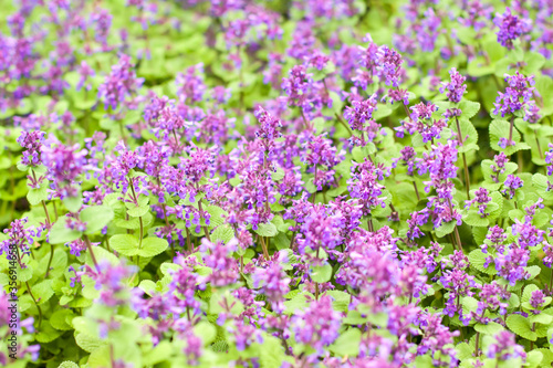 Beautiful violet flowers in blossom, summer blossom wallpaper