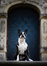 Boston Terrier In The City