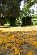 Yellow Flowers Of Tipuana Tree, Fallen On The Ground During Spring