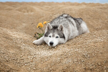 Beautiful Siberian Husky On Th...