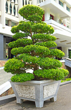 Big Traditional Green Bonsai T...