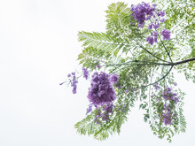 Purple Jacaranda Flowers Again...