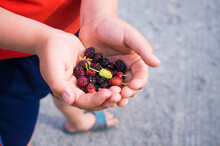 The Child Holds Ripe Mulberry In His Hands And One Of Them Is Not Ripe.