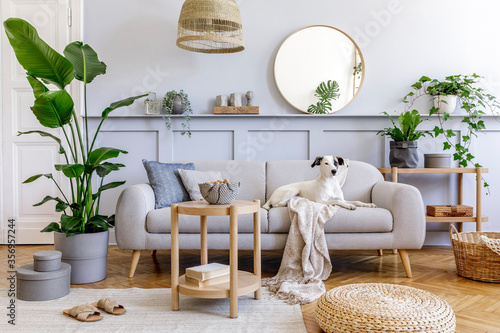 Fototapeta  Interior design of living room with stylish grey sofa, coffee table, tropical plant, mirror, decoration, pillows and elegant personal accessories in home decor. Beautiful dog lying on the couch. obraz
