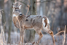 A White-tailed Buck, Having Lost One Antler And Not Yet The Other, Looks Over Its Shoulder At Noises Behind It In A Field Near Hartford, Wisconsin