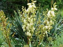 Yucca Gloriosa Or Glorious Yuc...