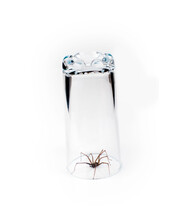 Large House Spider Tegenaria Domestica Caught In Glass On A White Background