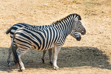 Two Zebras Standing In The Sha...