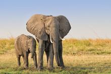 Female Elephant (Loxodonta Afr...