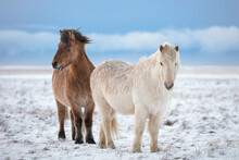 Two Icelandic Horse Friends In Iceland Winter Cold Snow