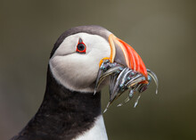 A Proud Hungry Atlantic Puffin...