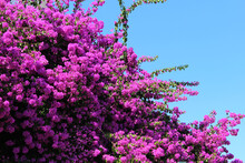 Purple Bougainvillea Flowers With Blue Sky