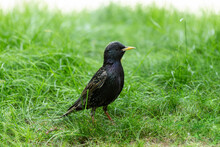 Adult European Starling On The...